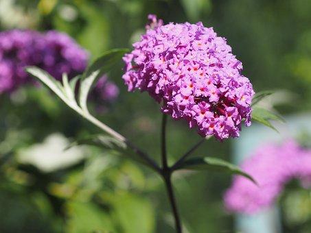 Summer Lilac, Summer, Nature, Plant, Flowers, Garden
