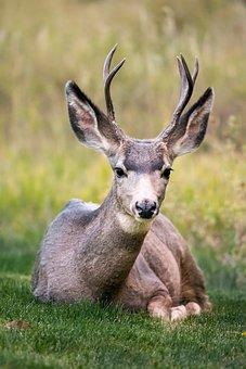 Deer, Horn, Animal, Wildlife, Green, Grass
