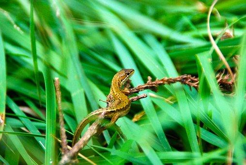 Lizard, Reptile, Nature, Animal, Wild, Wildlife, Green