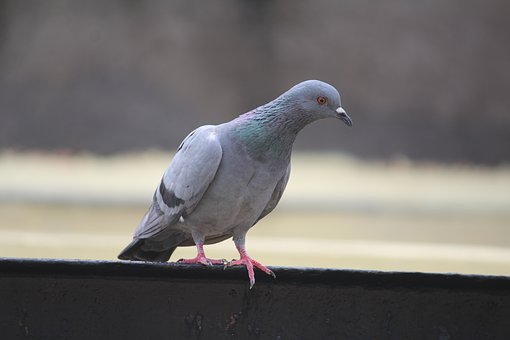Pigeon, Columba, Looking For Food, Bird