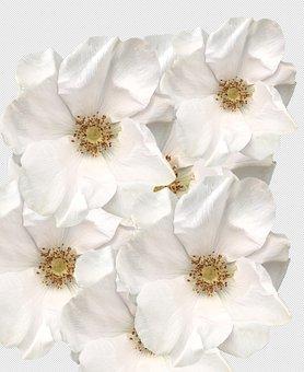 Yorkshire, Roses, White