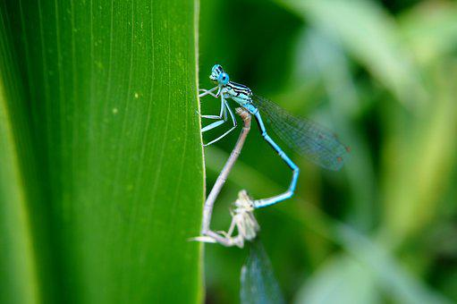 Dragonfly, Couples, Pairing, Insect, Nature, Animal
