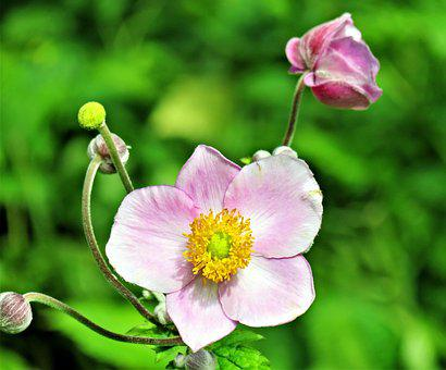 Plant, Fall Anemone, Japanese Anemone, Flower