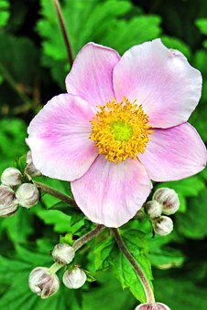 Plant, Fall Anemone, Japanese Anemone, Flower, Blossom