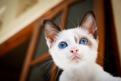 House, Cat, White, Blue, Eyes, Animal, Pet, Mammal