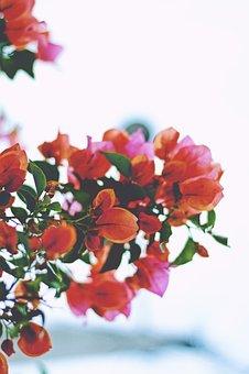 Bougainvillea, Flower, Red, Petals, Garden, Nature, Sky