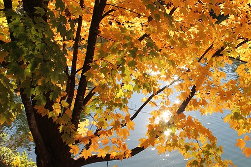 Tree, Leaves, Yellow, Plants, Nature, Autumn, Branches