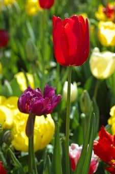 Tulips, Red, Yellow, Chan, Flower Picture
