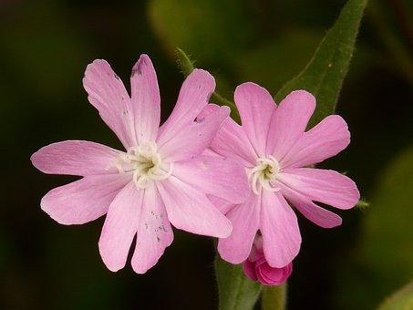 Red Campion, Campion, Flower, Plant, Blossom, Bloom