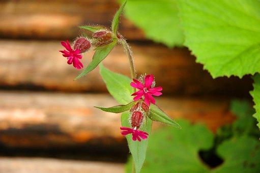 Flower, Green, Red, Campion