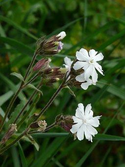 White Lichtnelke, Campion, Silene Latifolia