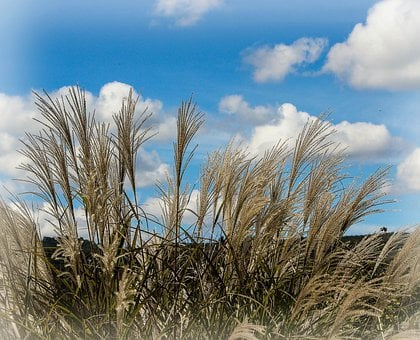 Ornamental Grass, Miscanthus Huron, Decorative