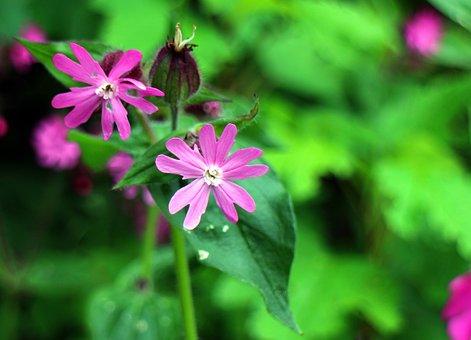 Wild Plant, Dianthus, Red Campion, Campion, Flower