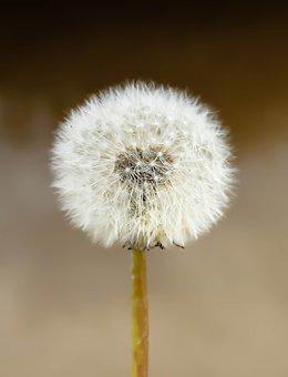 Dandelion, Seeds, Nature, Plant, Field, Growth, Wishful