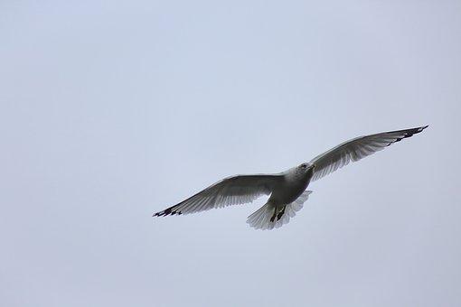 Gull, Seagull, Bird, Animal, Wildlife, Flight, Wild