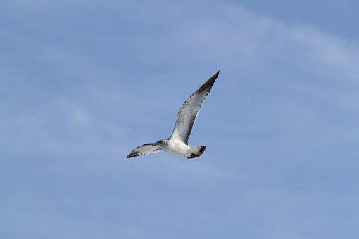 Seagull, Flying, Soaring, Bird, Gull, Flight, Wildlife