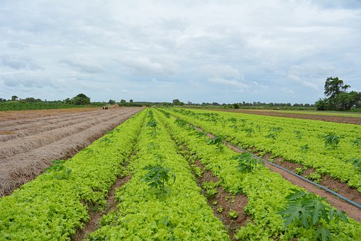 Khmer Vegetable, Khmer Lettuce, Cambodian, Food, Khmer