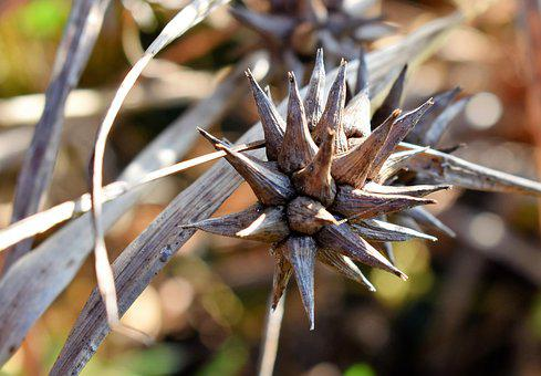 Grass, Morning Star, Seeds, Dry, Nature, Close, Brown