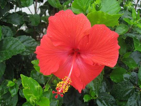 Hibiscus, Drop Of Water, Rain, Call, Ishigaki Island