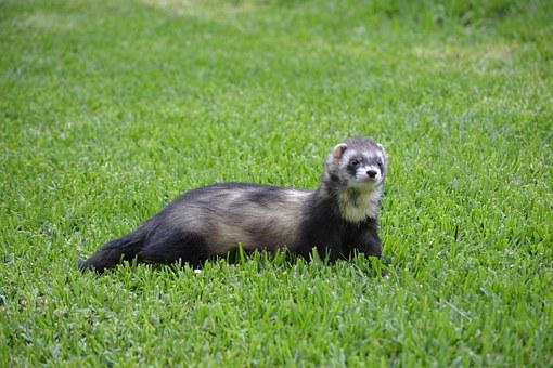 Huron, Hurolates, Pets, Ferrets