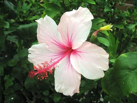Hibiscus, Ishigaki Island, Outlying Islands, Light Pink