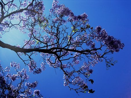 Jakaranda, Tree, Flower, Blooms, Petal, Trumpet Shaped