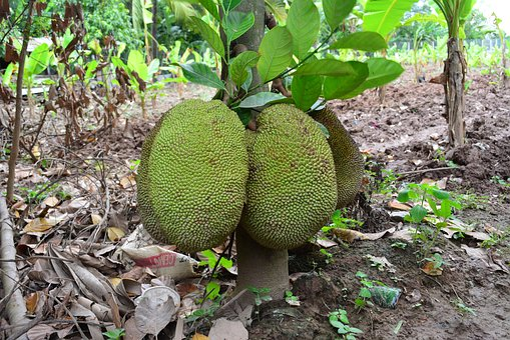 Khmer Jack Fruit, Cambodia Jack Fruit, Khmer Fruit