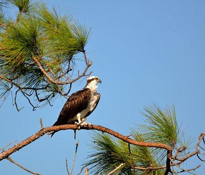 Osprey, Wildlife, Avian, Bird, Animal, Raptor, Nature