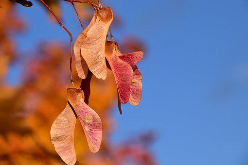 Maple, Seeds, Autumn, Golden, Close, Red, Sky