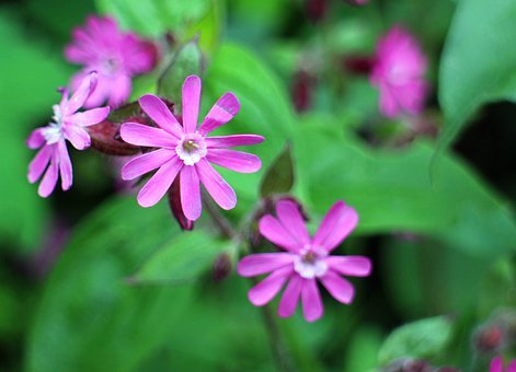 Wild Plant, Carnation Family, Red Campion, Campion
