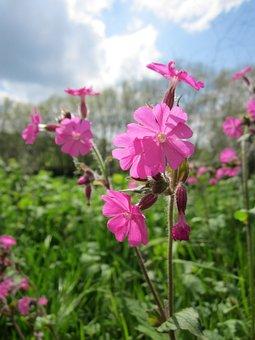 Silene Dioica, Red Campion, Wildflower, Flora, Pink