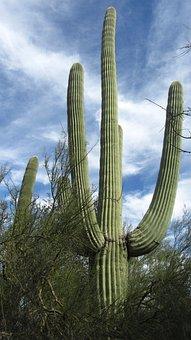 Saguaro, Cactus, Arizona, Desert, Tucson, Dry