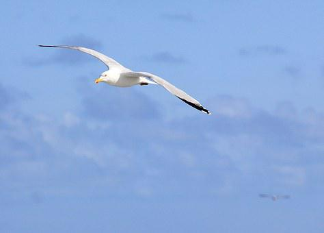 Seagull, Sea, Bird, Flight, Gull, Nature, Sky, Fly