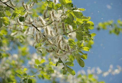 Poplar, Tree, Garden, Seeds, Flying Seeds, Nature