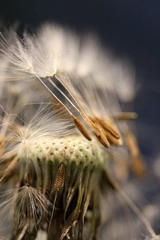 Seed Head, Dandelion, Seeds, Plant, Weed, Nature