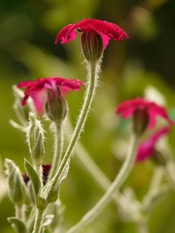 Crowns Campion, Silene Coronaria, Dianthus, Flower