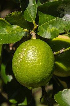 Lime, Tahitian Lime, Citrus, Fruit, Tree, Green