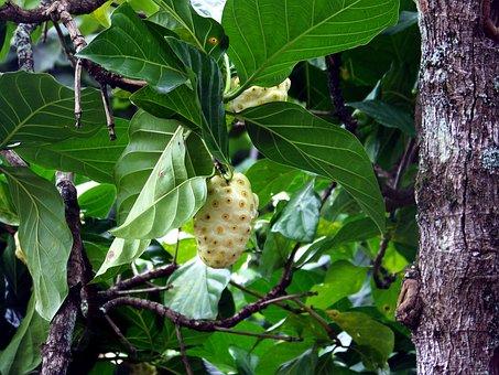Noni, Tahitian Noni, Noni Fruit, Noni Plant, Noni Berry