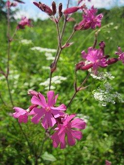 Silene Dioica, Red Campion, Wildflower, Flora, Blossom