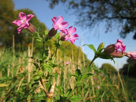 Silene Dioica, Red Campion, Wildflower, Botany, Species