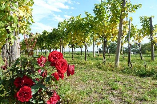 Wachau, Wine, Rose, Autumn, Vineyard, Vine, Rebstock