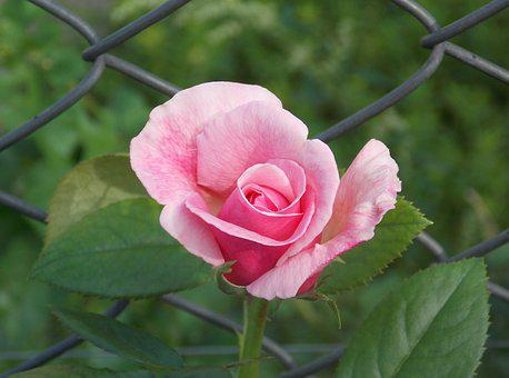 Rose, Wire, Fence, Flower, Nature