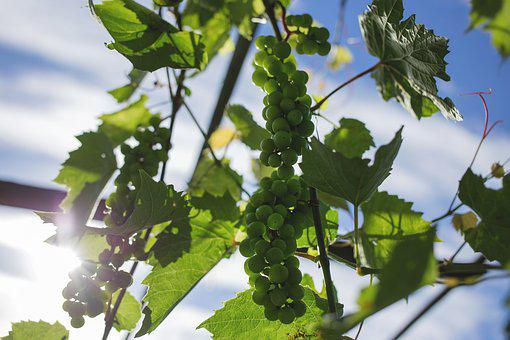 Plants, Nature, Fruits, Vines, Grapes, Cluster, Leaves