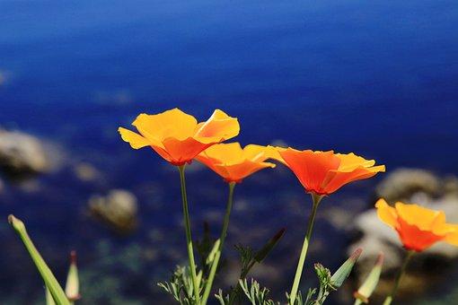 California, Poppy, Orange, Bloom, Wild, Botanical