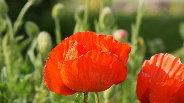 Poppy Flower, Schloßpark Oranienburg, Garden Show