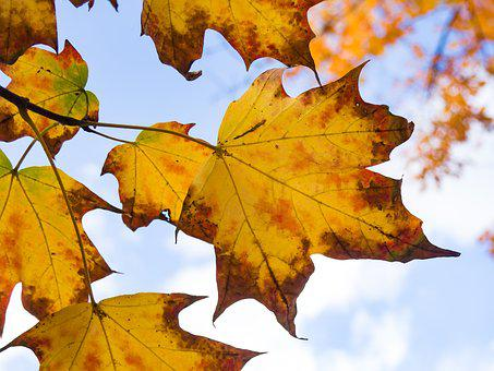 Nature, Trees, Branches, Leaves, Maple, Sky, Clouds
