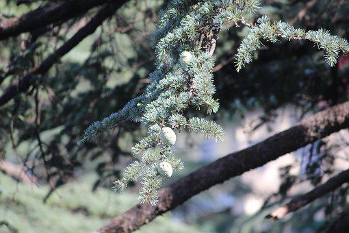 Pine, Tree, Branch, Young, Immature Seeds, Pinus