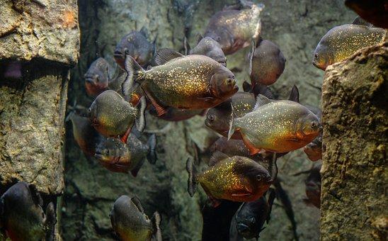 Piranhas, Fish, Aquarium, Animal, Water, Wildlife