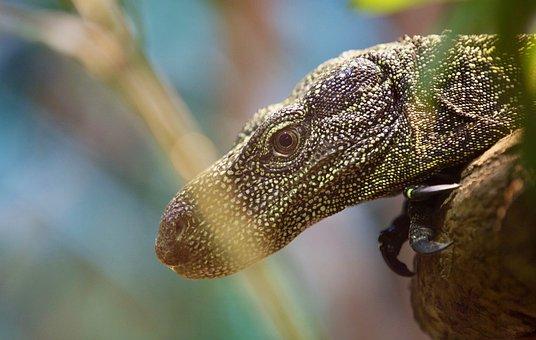 Lizard, Animal, Reptile, Nature, Wildlife, Pet