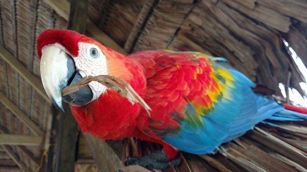 Ave, Macaw, Bird, Animal, Exotic Bird, Nature, Parrot